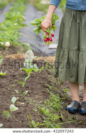 Closeup of woman's hand holding bunch of organic radish from the garden.  Organic vegetables. Farmers hand with freshly harvested vegetables. Healthy food and lifestyle concept - stock photo