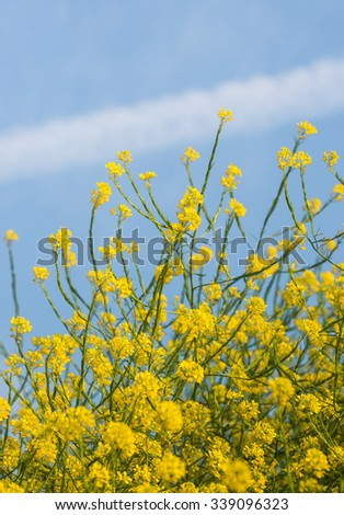 Closeup of yellow blossoming black mustard or Brassica nigra plants against a blue sky with contrails. It is a sunny day in the summer season. - stock photo