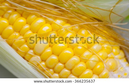 Closeup of yellow corn with additional ears of corn in the background - stock photo