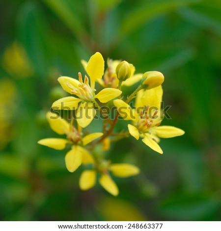 closeup of yellow flower ( galphimia, gold shower) - stock photo