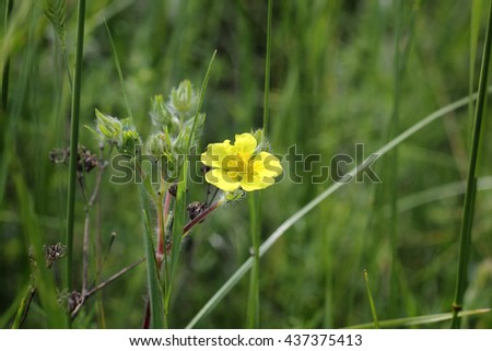Closeup of yellow flower of wood sorrel blooming in early summer in forests - stock photo