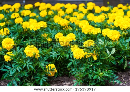 Closeup of yellow french marigold field, selective focus - stock photo
