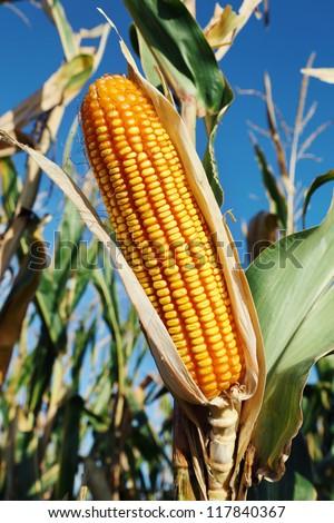 Closeup of yellow fresh corn plant - stock photo