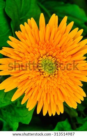 Closeup of yellow gerbera in garden flower. - stock photo
