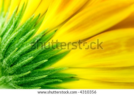 closeup of yellow Gerbera Jamesonii Bolus flower - stock photo