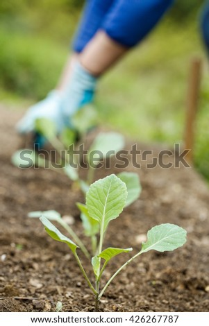 Closeup of young broccoli seedlings with gardener planting, plowing the seedlings in freshly ploughed garden beds in background. Organic gardening, healthy food, self-supply and housework concept.   - stock photo