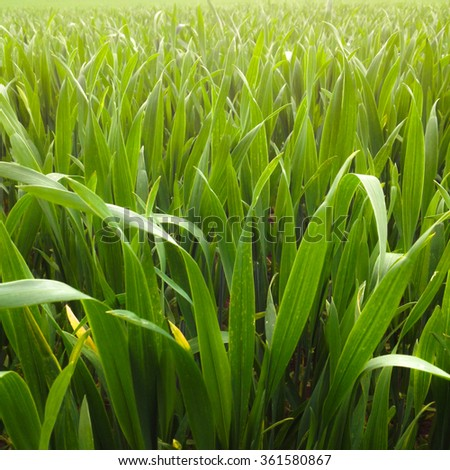 Closeup of young wheat grass - stock photo