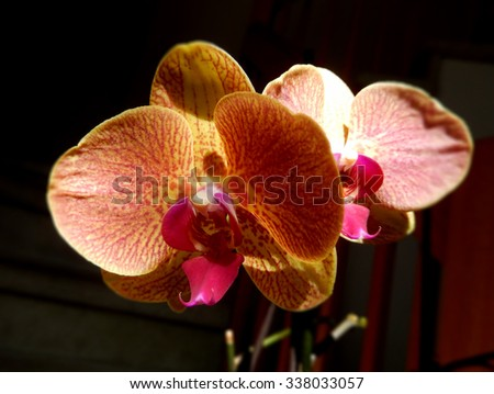 Closeup on an orange orchid with red stripes and center petal on a black background - stock photo