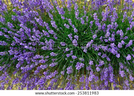 Closeup on beautiful gentle lavender flower view from above, summer time nature. Provence, France - stock photo