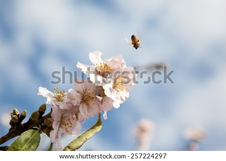 Closeup on bee flying to light pink almond blossom covered with raindrops. Almond Gardens near Tabor Mountain, Israel. - stock photo