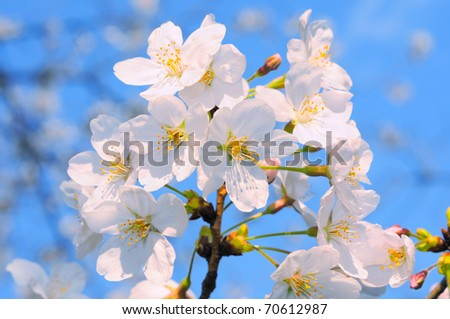 Closeup on bunch of amazakura flowers on a sunny day against blue sky. Amazakura is a variety of sakura where blossoms come out before leaves - stock photo