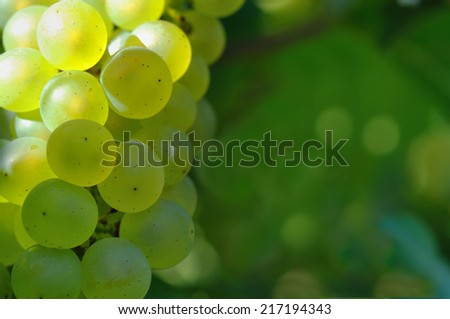closeup on bunches of white  grape in green background - stock photo