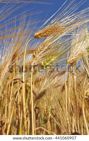 closeup on cob ripe barley in a field under blue sky - stock photo