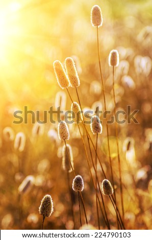 Closeup on dry wild spikes backlit with warm setting sun - stock photo