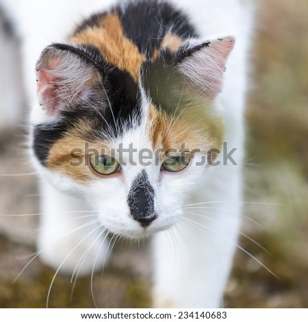 Closeup on head cat. This domestic animal walking slowly. Outdoors portrait of mixed-breed cat. Color image - stock photo