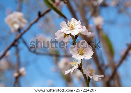Closeup on light pink almond flower covered with raindrops. Blue spring sky between branches of tree. Almond Gardens near Tabor Mountain, Israel. - stock photo