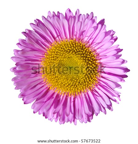 Closeup on Purple English Daisy Flower Head Isolated on White Background. Top view - stock photo
