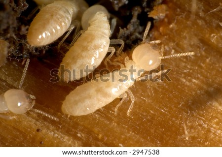 Closeup on termites going in and out of their tunnel - stock photo