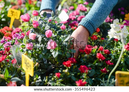 Closeup on woman gardeners hands planting small roses in pot with dirt or soil - stock photo