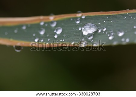 Closeup outdoor natural fresh green leaf plant with many shiny transparent drops of water dew raindrops against green blurred background, horizontal picture - stock photo