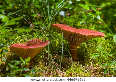 closeup pair red mushroom in a forest - stock photo