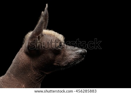 Closeup Pedigree portrait of Xoloitzcuintle - hairless mexican dog breed, on Isolated Black background, Profile view - stock photo