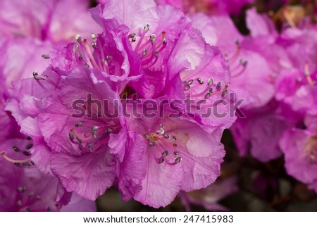 Closeup photo of a beautiful Rhododendron in a botanical garden - stock photo