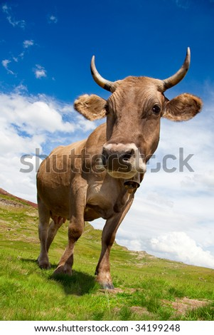 Closeup photo of a cow in a meadow. It's  a sunny day with some clouds. - stock photo