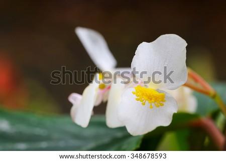 Closeup photo of Begonia x hybrida, Baby Wing White flower with yellow stamen - stock photo