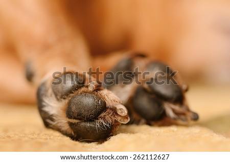 Closeup photo of dog paw, detail - stock photo