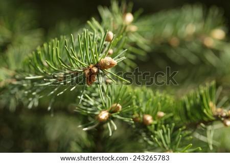 closeup photo of fir branch with buds, springtime - stock photo
