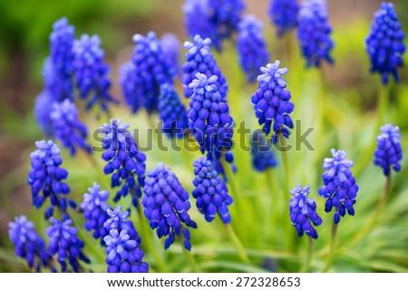 Closeup photograhy of f group of beautiful blooming muscari  - stock photo