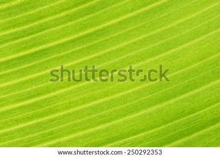 Closeup picture of a banana leaf showing its texture  - stock photo