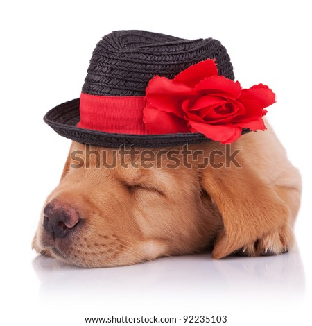 closeup picture of a cute sleeping labrador retriever puppy wearing a show hat, over white background - stock photo