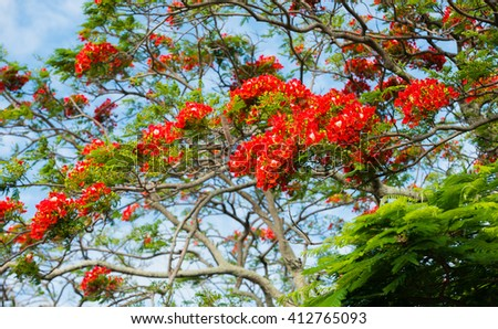 Closeup picture of beautiful flamboyant tree flowering in Mauritius Island. Vivid orange and red flamboyant flowers. Royal poinciana   - stock photo