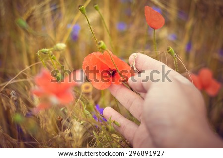 Closeup picture on hand touching poppy flower in the field of wheat on summer day outdoors copy space background  - stock photo