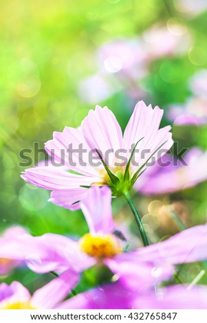 Closeup pink cosmos flowers blooming in the garden at the day time on blurred nature background. Beautiful natural floral use as background. Shallow depth of field (dof), selective focus. Outdoors. - stock photo