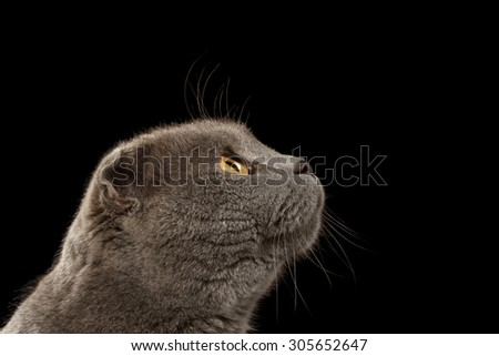 Closeup Portrait British Fold Cat Looking Up in Profile on Black background - stock photo