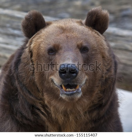 Closeup portrait of a brown bear with open chaps. The head of a grizzly, the most dangerous and biggest beast of the world. Wild beauty of the cute and cuddly animal. Charm of the wildlife. - stock photo