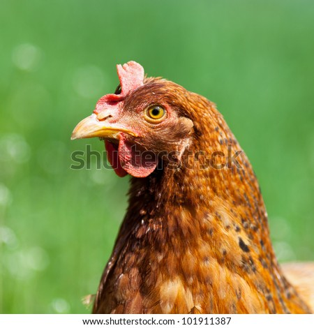 Closeup portrait of a brown chicken outdoor in grass - stock photo