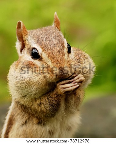 closeup portrait of a chipmunk with her cheeks full - stock photo