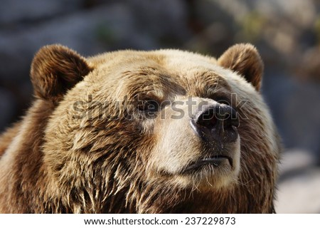 Closeup portrait of a curious grizzly brown bear sniffing the air - stock photo