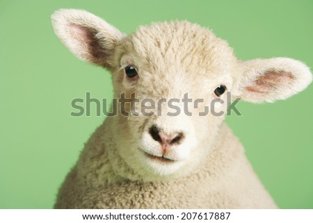 Closeup portrait of a cute lamb against green background - stock photo