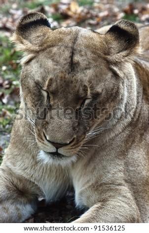 Closeup portrait of a female lion - stock photo