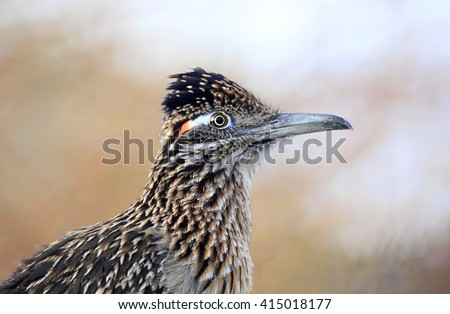 Closeup Portrait of a Greater Roadrunner - stock photo