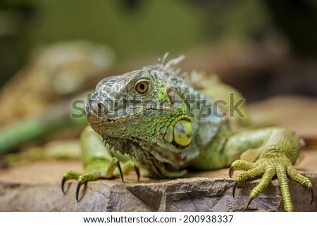 Closeup Portrait Of A Green Iguana (Iguana iguana) - stock photo