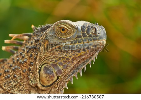 Closeup portrait of a green iguana photographed in Costa Rica. - stock photo