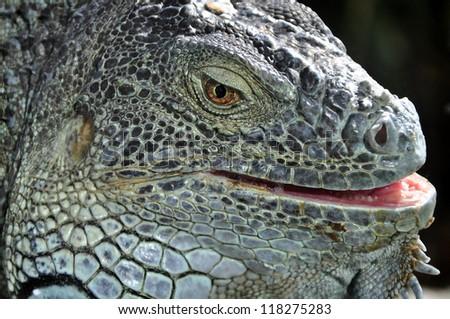 Closeup portrait of a green iguana sunbathing - stock photo