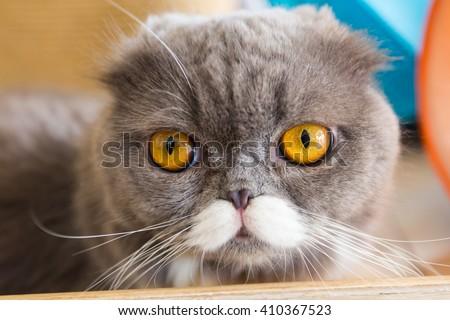 closeup portrait of a grey cat  - stock photo