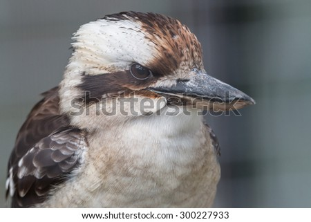 Closeup portrait of a Laughing Kookaburra, a member of the kingfisher family, endemic to Australia - stock photo